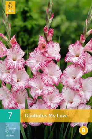 Bulbes à fleurs plantation printemps : Glaïeul Crème à bord rose