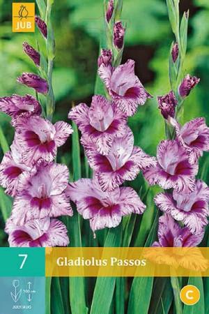 Bulbes à fleurs plantation printemps : Glaïeul panaché Dégradé de mauve