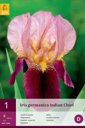 Bulbes à fleurs plantation printemps : Iris germanica Rose et pourpre