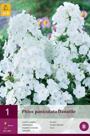 Bulbes à fleurs plantation printemps : Phlox Blanc