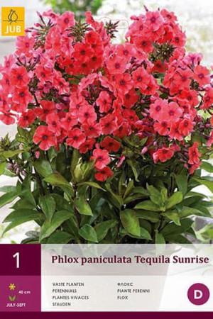Bulbes à fleurs plantation printemps : Phlox Framboise