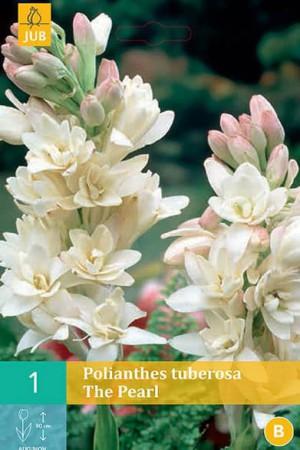 Bulbes à fleurs plantation printemps : Polianthus Tuberosa blanc