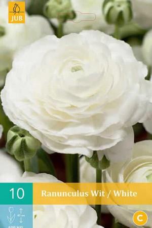 Bulbes à fleurs plantation printemps : Renoncule Blanche