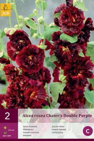 Bulbes à fleurs plantation printemps : Rose trémière Pourpre
