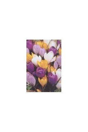 Bulbes à fleurs plantation automne : Crocus : Crocus En mélange