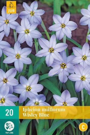 Bulbes à fleurs plantation automne : Ipheion  : Ipheion Uniflorum