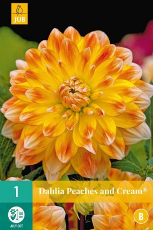 Bulbes à fleurs plantation printemps : Dahlia décoratif Pêche et orange