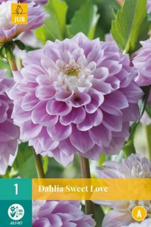 Dahlia décoratif Rose-mauve