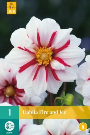 Dahlia mignon Blanc ligné de rouge