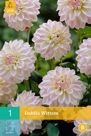 Dahlia décoratif nain Blanc rosé