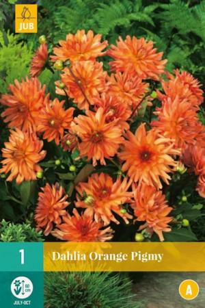 Dahlia cactus nain Orange