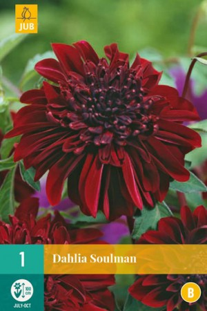 Dahlia à fleur d'anémone Rouge foncé