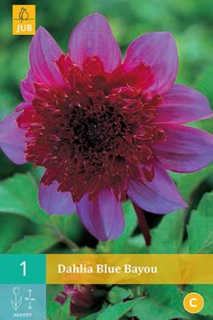 Dahlia à fleur d'anémone Rose à cœur pourpre