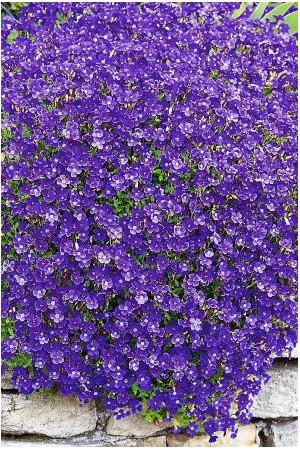 Semences de fleurs : Lobélia Saphir