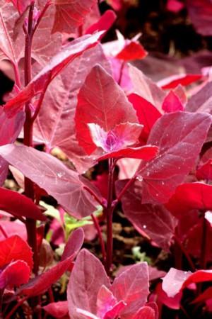 Semences potagères : Arroche Red Flash