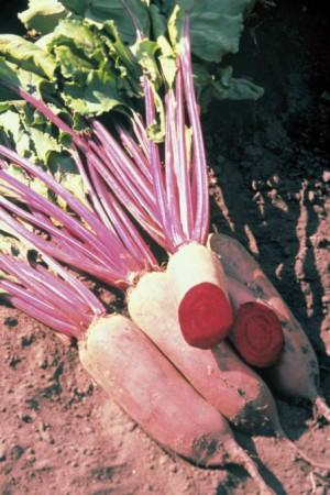 Semences potagères : Betterave potagère Cylindra