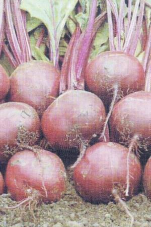 Semences potagères : Betterave potagère Ronde rouge BIO