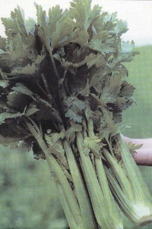 Semences potagères : Céleri à côtes Elne