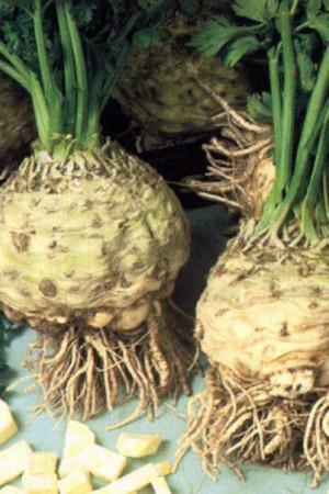 Semences potagères : Céleri rave Alba BIO