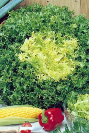 Semences potagères : Chicorée frisée Fine de Louviers