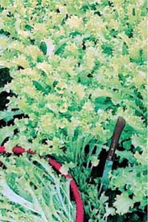 Semences potagères : Chicorée frisée Toujours blanche