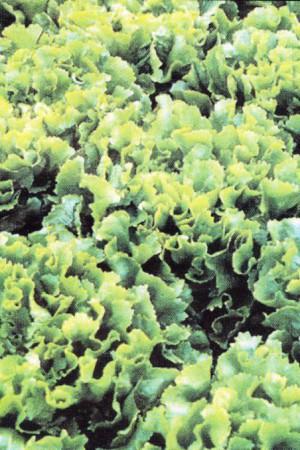 Semences potagères : Chicorée scarole Natacha