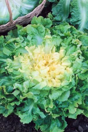 Semences potagères : Chicorée scarole Ronde verte à cœur plein