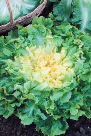 Semences potagères : Chicorée scarole Ronde verte à cœur plein BIO
