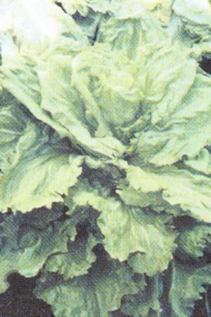 Semences potagères : Chicorée scarole Cornet de Bordeaux