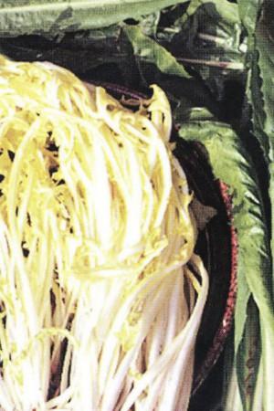 Semences potagères : Chicorée sauvage Barbe de Capucin