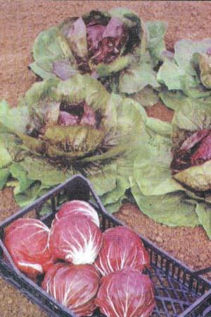 Semences potagères : Chicorée sauvage Chioggia Chermes