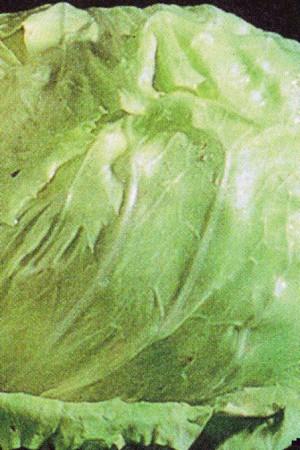 Semences potagères : Chicorée sauvage Cicoria Chioggia A Palla Bianca