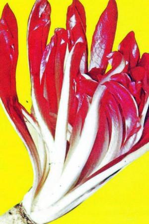 Semences potagères : Chicorée sauvage Cicoria Rossa di Treviso
