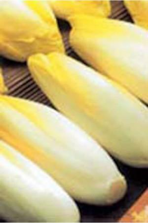 Semences potagères : Chicorée de Bruxelles demi-hâtive BIO