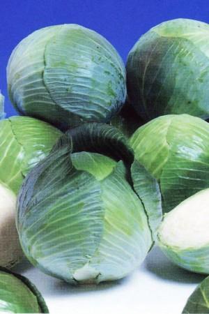 Semences potagères : Chou cabus blanc Minicole F1