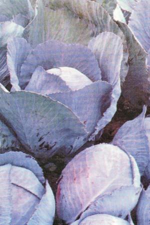Semences potagères : Chou rouge Tardif de Langendijk