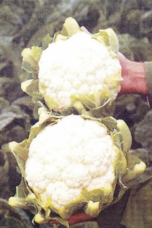 Semences potagères : Chou fleur de Malines