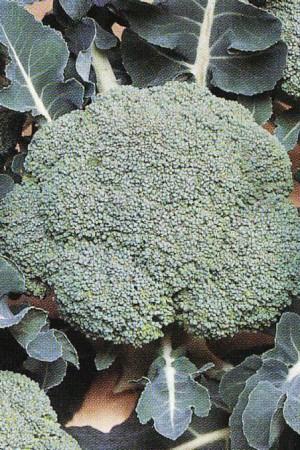 Semences potagères : Chou brocoli Vert Calabrais BIO