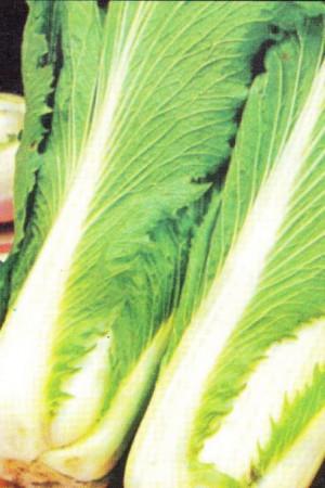 Semences potagères : Chou de Chine Pe-Tsaï