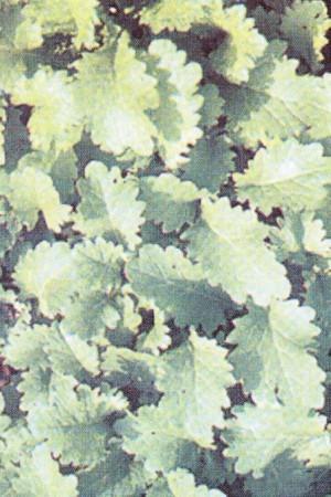 Semences potagères : Chrysanthème Shungiku