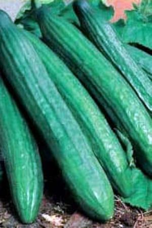 Semences potagères : Concombre Vert Long des maraîchers