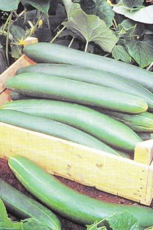 Semences potagères : Concombre Tanja