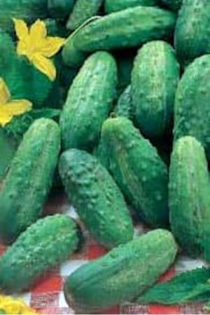 Semences potagères : Cornichon Vert petit de Paris