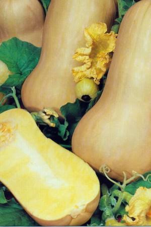 Semences potagères : Courge Butternut