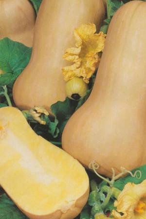 Semences potagères : Courge Butternut BIO