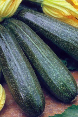 Semences potagères : Courgette Verte non coureuse des Maraîchers