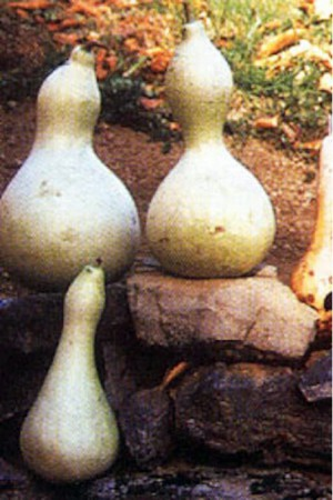 Semences potagères : Coloquinte Bouteille