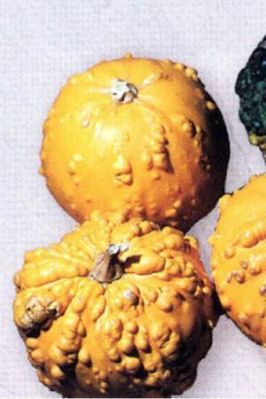 Semences potagères : Coloquinte Galeuse en mélange