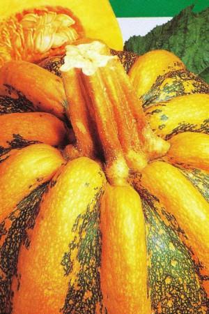 Semences potagères : Coloquinte Tonda Padana