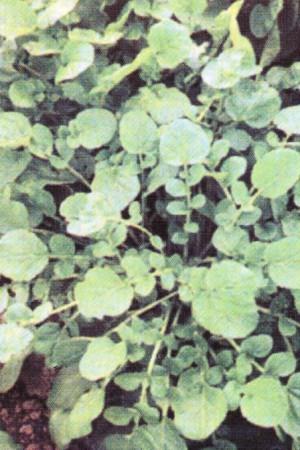 Semences potagères : Cresson Vivace des jardins